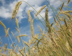 14868 wheat 228726 285