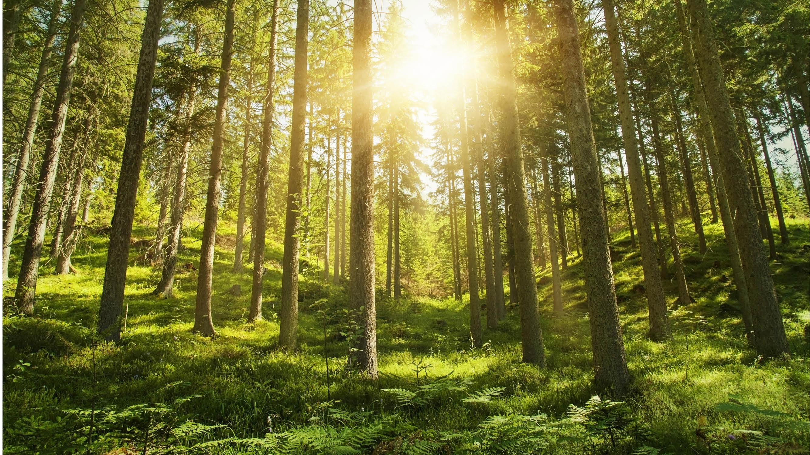 15670 Bild nyhetsbrev tallskog i solsken