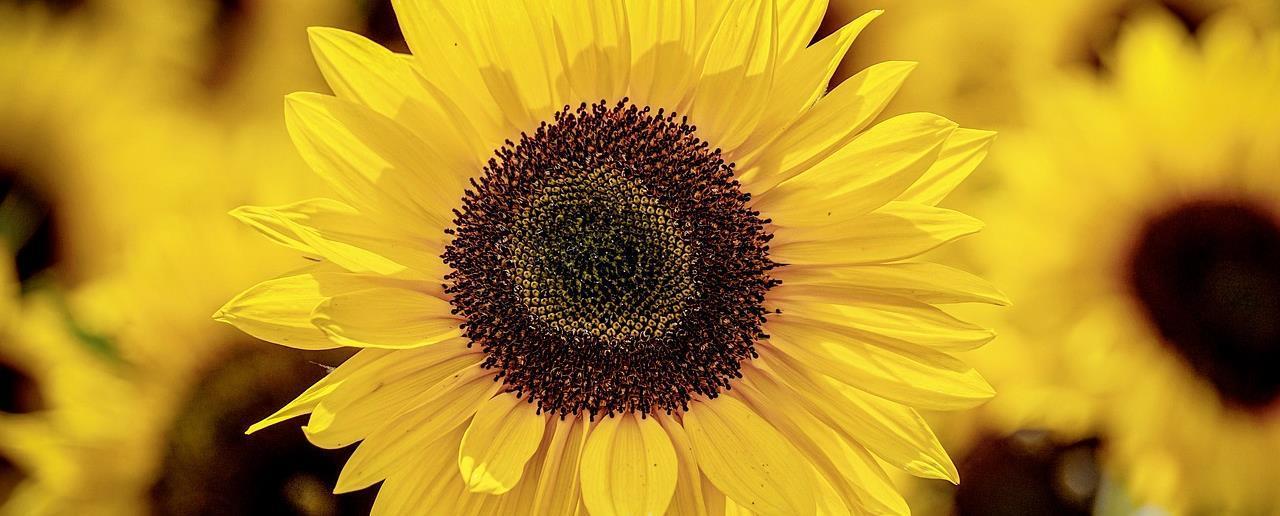 16839 sunflower 3790834 1280